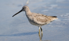 Rämekurppelo Limnodromus griseus Short-billed Dowitcher 1cy moulting to first-winter plumage