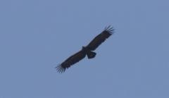 Kiljukotka Aquila clanga Greater Spotted Eagle