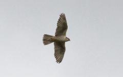 Aavikkohaukka Falco cherrug Lanner adult type ssp milvipes