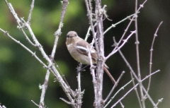 Tähtileppälintu Phoenicurus schisticeps White-throated Redstart female