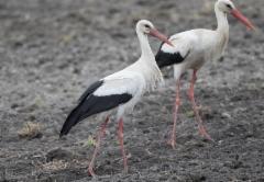 Kattohaikara Ciconia ciconia White Stork