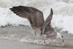 Selkälokki Larus fuscus graellsii/intermedius  Lesser Black-backed Gull 2 cy
