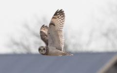 Suopöllö Asio flammeus Short-eared Owl