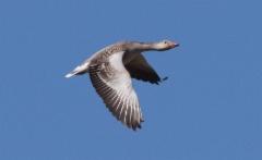 Merihanhi Anser anser Greylag Goose