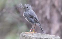 North Island Robin Petroica longipes +2kv female
