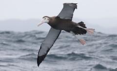 Jättiläisalbatrossi Diomedea exulans Wandering Albatross 2 cy