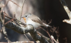 Pikkusieppo Ficedula parva Red-breasted Flycatcher +2cy male