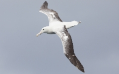 Kuningasalbatrossi Diomedea epomophora Royal Albatross