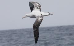 Jättiläisalbatrossi Diomedea exulans Wandering Albatross imm.