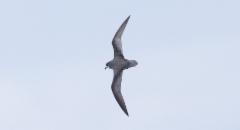 Kiertoviistäjä Pterodroma inexpectata Mottled Petrel