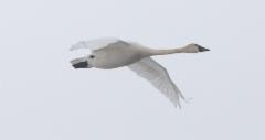 Pikkujoutsen Cygnus columbianus columbianus Whistling Swan
