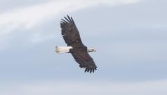 Valkopäämerikotka Haliaeetus leucocephalus Bald Eagle adult