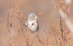 Kettusirkku Passerella iliaca zaboria Red Fox Sparrow +1cy