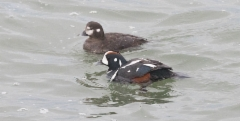 Virta-alli Histrionicus histrionicus Harlequin Duck female and male