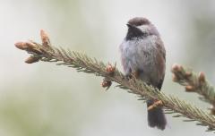 Kanadantiainen Poecile hudsonicus Boreal Chickadee