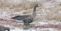 Tundrahanhi Anser albifrons Greater White-fronted Goose