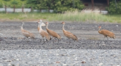 Hietakurki Grus canadensis Sandhill Crane