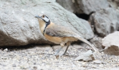 Korunauruli Garrulax pectoralis Greater Necklaced Laughingthrush