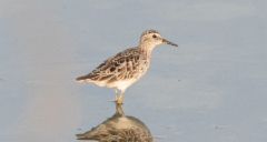 Siperiansirri Calidris subminuta Long-toed Stint non-breeding