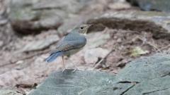 Sinisatakieli Larvivora cyane Siberian Blue Robin 2 cy male