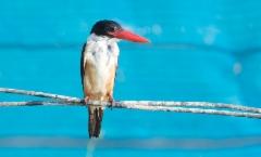 Mustapääkalastaja Halcyon pileata Black-capped Kingfisher