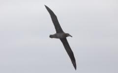 Mustajalka-albatrossi Phoebastria nigriceps Black-footed Albatross