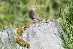 Mustafiivi Sayornis nigricans Black Phoebe