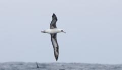 Havaijinalbatrossi Phoebastria immutabilis Laysan Albatross