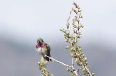 Runokolibbri Selasphorus callioe Calliope´s Hummingbird