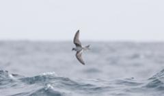 Harmaakeiju Oceanodroma furcata Fork-tailed Storm-petrel