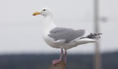 Amerikanisolokki Larus glaucescens Glaucous-winged Gull adult hybrid