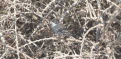 Kyproksenkerttu Sylvia melanothorax Cyprus Warbler probably 1 cy male