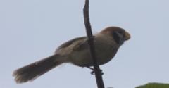 Mustaposkitimali Spot-breasted Parrotbill Paradoxornis guttaticollis