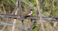 Burmanpikkulepinkainen Burmese Shrike Lanius collurioides