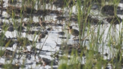 Kultakurppo Rostratula benghalensis Greater Painted-snipe male with pullus