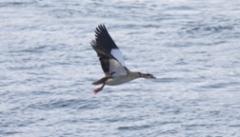 Afrikanhanhi Alopochen aegyptiana Egyptian Goose