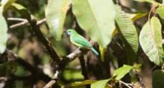 Rusovatsalehvi Chloropsis hardwickii Orange-bellied Leafbird