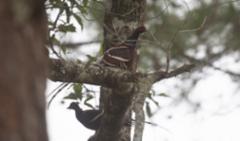 Burmanfasaani Mrs Hume`s Pheasant Syrmaticus humiae