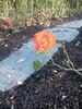 Kotkan ruusu Sapokassa 20.10.11