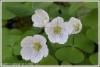 Ketunleivät kukkivat