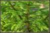 Havupuun tenho