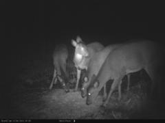 Ryhmä peuroja ruokailemassa