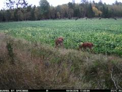 kolme peuraa nauttivat pellon antimista, huomasitko hirvet taustalla?