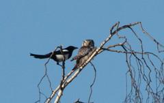 Hiiripöllö ja harakka © Peter von Bagh