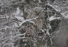 Helmikuinen viirupöllö Tolkkisissa ©   Peter von Bagh