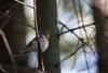 Toinen Leerviikinniemellä laulaneista pikkusieppokoiraista (c) Teemu Sirkkala