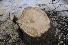 Aivan vesaikoksi ei voi vallinnutta puustoa luonnehtia