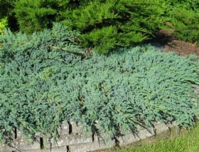juniperus_blue_carpet_iso.jpg&width=280&height=500