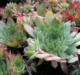sempervivum_tectorum.jpg&width=280&height=500
