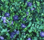 vinca_minor.jpg&width=140&height=250
